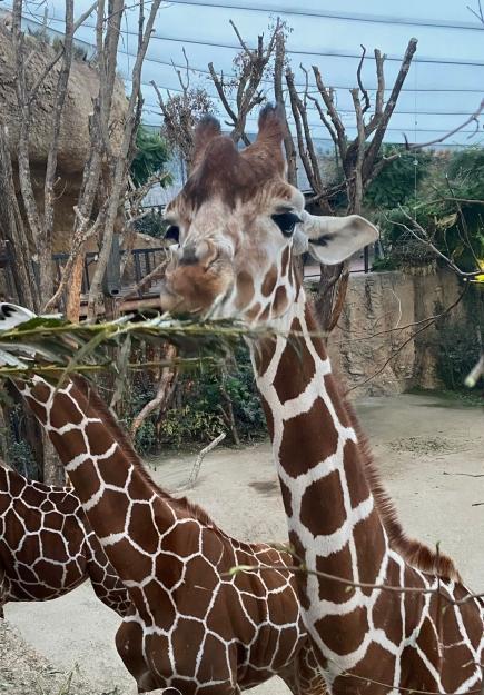Giraffen bei der Kifaru Lounge im Zoo Zürich